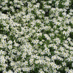 White spring flowers — Stock Photo #2136486