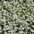 White spring flowers — Stock Photo #2136525