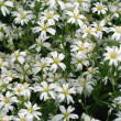 Stock Photo: White spring flowers