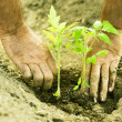 Planting tomatoes in garden — Stock Photo #2137689