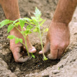 Stock Photo: Planting tomatoes in the garden