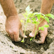 Planting tomatoes in the garden — Stock Photo