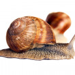 Stock Photo: Snail isolated on white background