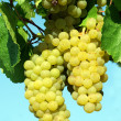 Bunch of white grapes — Stock Photo #2137813