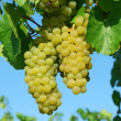 Stock Photo: Bunch of white grapes