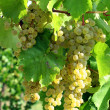 Bunch of white grapes — Stock Photo #2137871