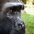 Royalty-Free Stock Photo: Gorilla