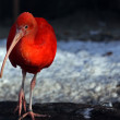 Red bird — Stock Photo #1827429