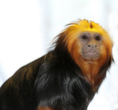 Golden-headed tamarin — Stock Photo