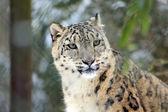 Snowleopard — Stock Photo