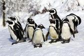 Dwarf penguin — Stock Photo