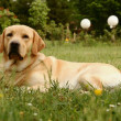 Labrador retriever on grassy meadow — Stok fotoğraf