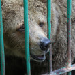 Stock Photo: Bear in captivity