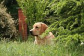 Labrador in the meadow — Stock Photo