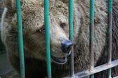 Bear in captivity — Stock Photo