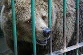 Bear in captivity — Stock Photo