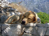 Labrador retriever pupy asleep — Stock Photo