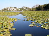 Scadar jeziora i woda lilly — Zdjęcie stockowe