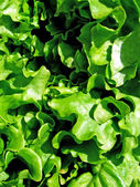 Green Llettuce — Stock Photo