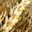 Golden Wheat Ear — Stock Photo