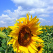 Stock Photo: Sunflower And The Blue Sky With Clouds