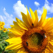 Sunflower And The Blue Sky - Stock Photo