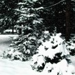 Стоковое фото: Christmas Trees with snow and sky with c