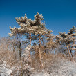 Stock Photo: Frozen winter forest