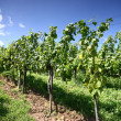 Grapevines — Stock Photo #1842883