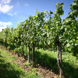 Grapevines — Stock Photo #1842912