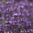 Lavender in the garden — Stock Photo