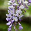Flowering wisteria — Stock Photo #1906384
