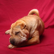 Sharpei dog — Stock Photo #1908740