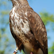 Common Buzzard - Stock Photo