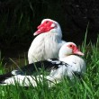 Muscovy Ducks - Stock Photo