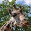 Giraffe head — Stock Photo #2124005