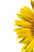 Isolated yellow sunflower — Stock Photo