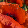 Poppy — Stock Photo #1845231