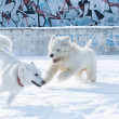 Samoyed and russian sheep dog — Stock Photo