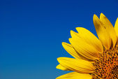 Sunflower and bright blue sky — Stock Photo