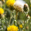 Yellow and white dandelions — Stock Photo #2263911