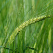Barley — Stock Photo #1825786