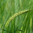 Royalty-Free Stock Photo: Barley