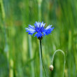 Cornflower — Stock Photo #1825816