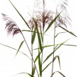 Reed — Stock Photo #1826197