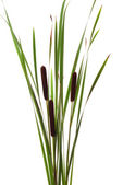 Big brown cattails stands on white background — Stock Photo