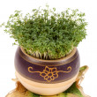 Cress — Stock Photo #1877384