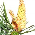 Pine cone — Stock Photo #1893739