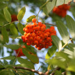 Photo: Mountain ash on sky