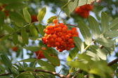 Mountain ash on sky — Stock Photo